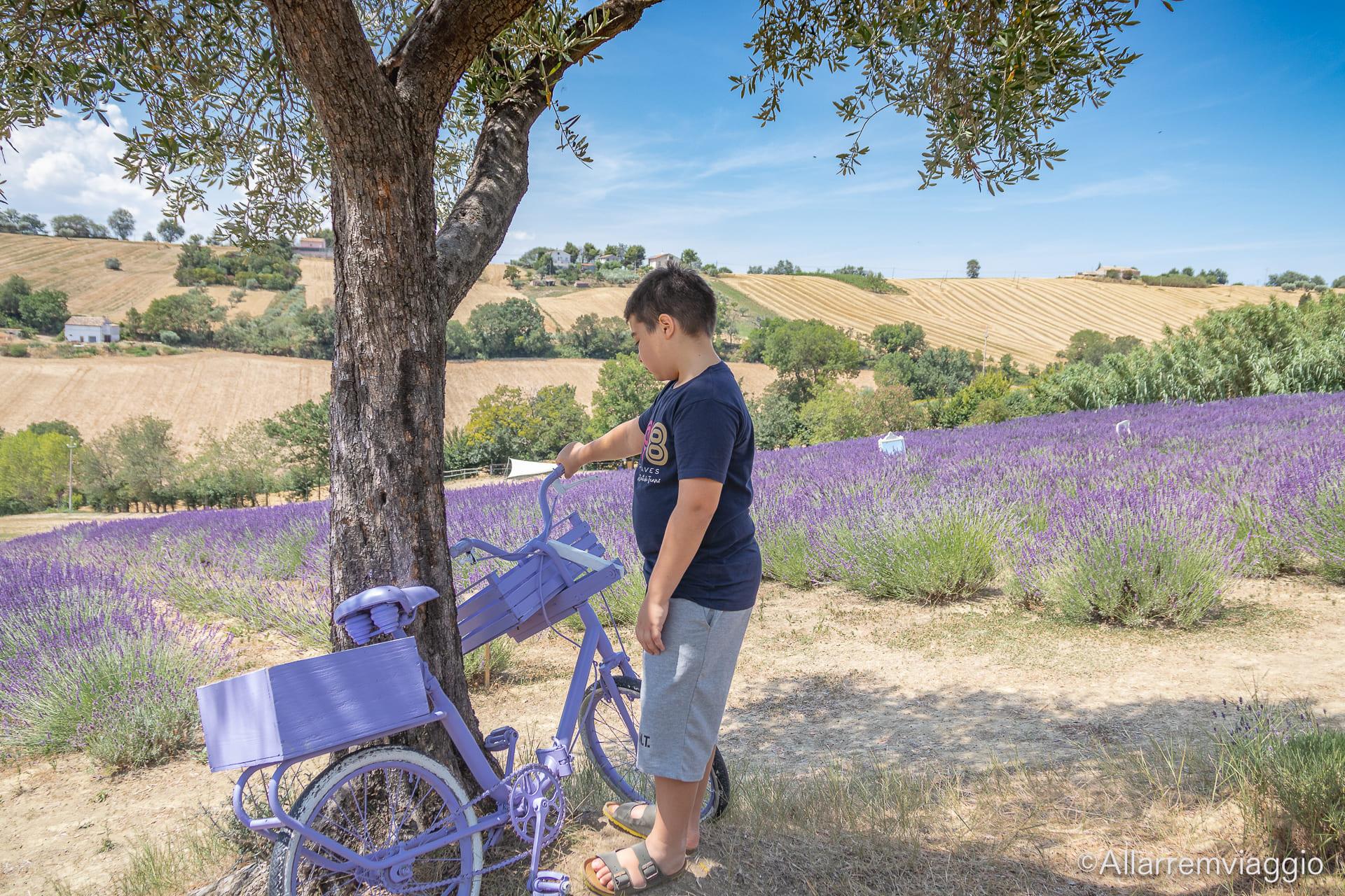 bicicletta lilla lavandeto nuovo ulivo di nonno amato
